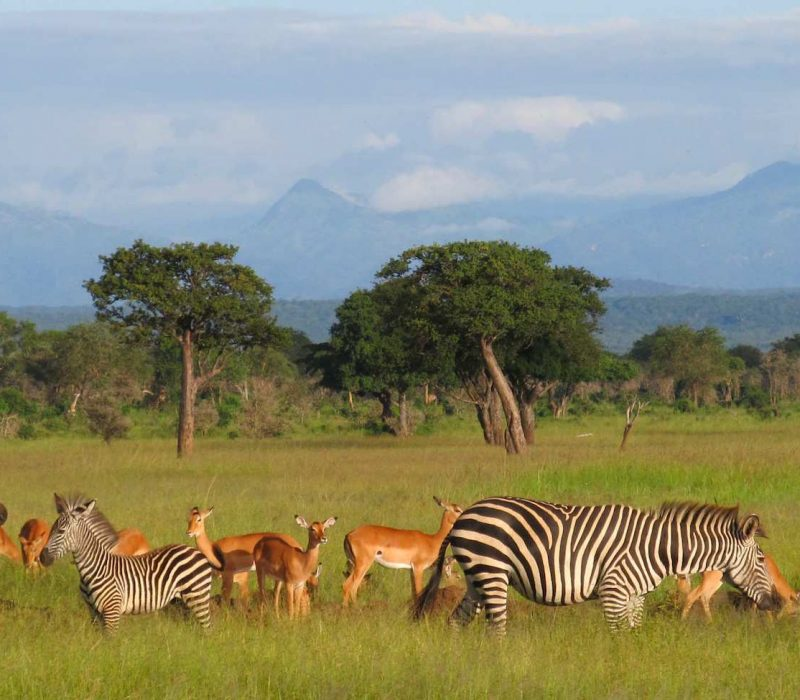 2 Days Game Drive in Mikumi National Park