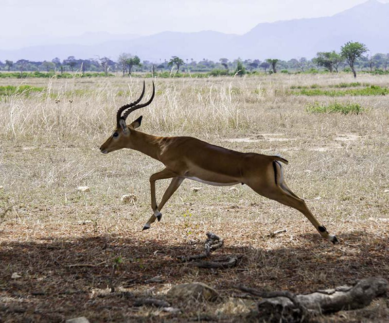 A jumping antelope in Mikumi National Park of Tanzania.